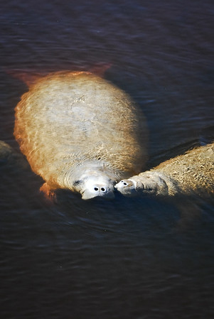 Baby Manatee kissing its momma, at surface of water, Fort Myers, FL.