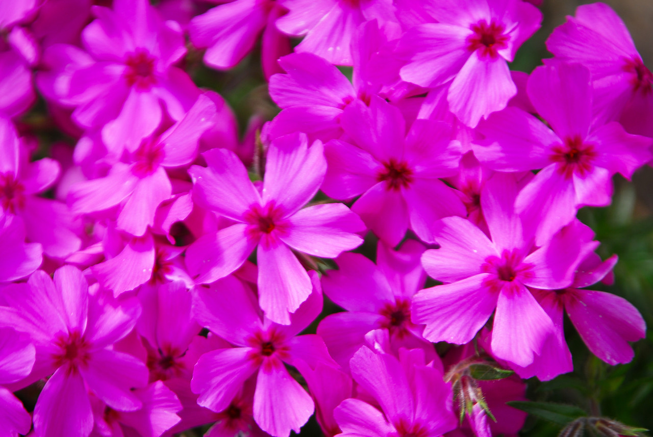 Tight detail shot of pink flowers in spring.