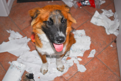 WHAT mess Mommy ?!?  Amaretto and his paper towel tearup, young puppy who was destructive while left alone for an hour.