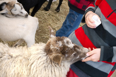 Sheep being hand-fed by young boy in petting area at the Sandwich Fair, Sandwich, NH.