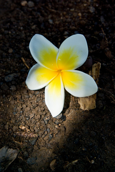 Frangipani flower lying in the shadows and lit by a shaft of light