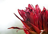 Gymea lily backlit by a bright sky