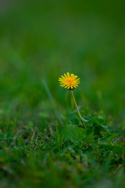 A single dandelion flower with shallow depth of field