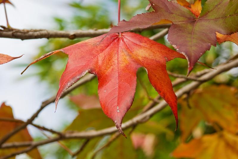 Autumn coloured Liquidambar leaves