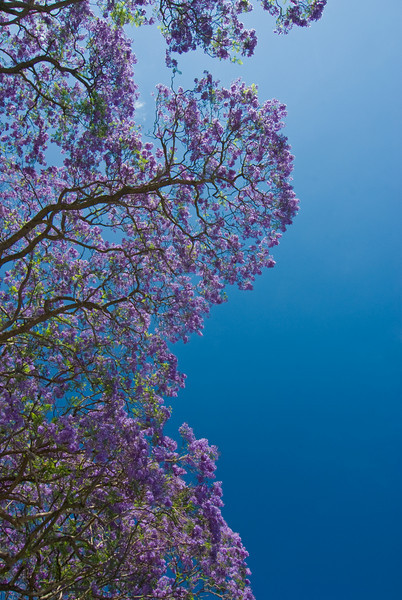 Jacarandas and Sky