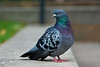A domestic pigeon (Columba livia) in Hyde Park