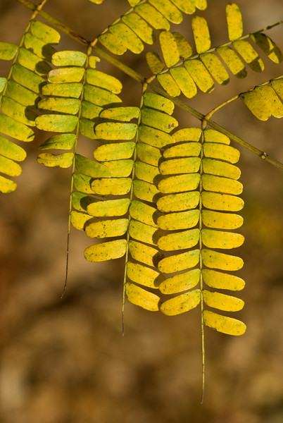 Yellow leaves agains an mout of focus backdrop of leaf litter
