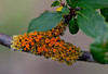 Orange Lichen on a Fig Branch