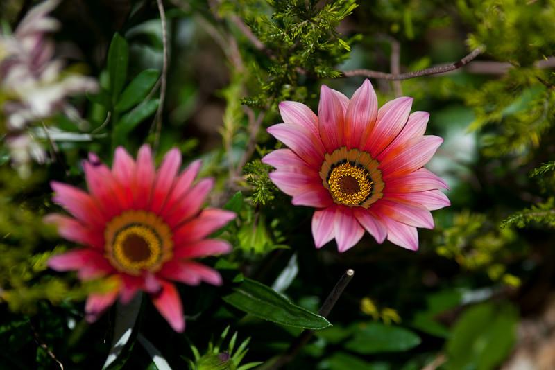 Pinky-Orange Gazanias