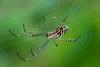 Golden Orb Weaver Spider