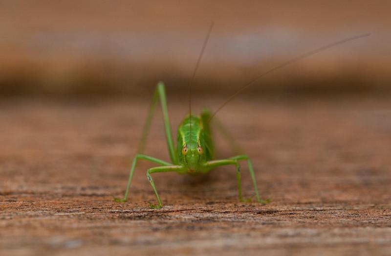 Bush Cricket/ Katydid on a Timber Step