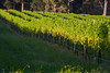 Vines in the Setting Sun (Blue Metal Vineyards)