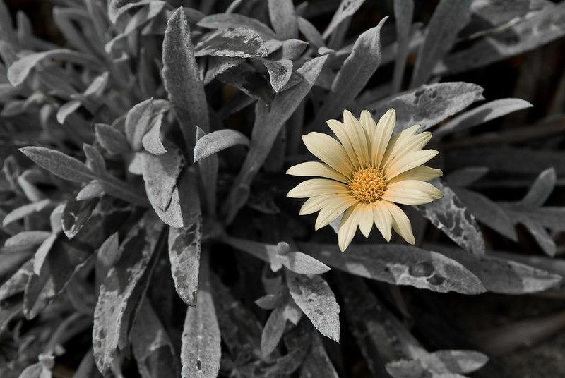 Outstanding: Yellow Gazania Flower Selectively Desaturated