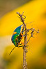 Green Jewel Bug (Lampromicra senator)