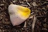 A Pink and Yellow rose petal lying in garden mulch<br /> <br /> I decided to take a wark through the Newfarm Park Rose gardens with my 105mm Sigma Macro lens