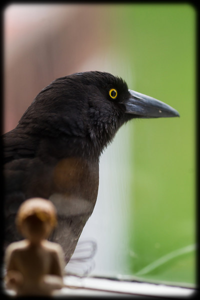 Inquisitive Magpie at the Kitchen Window