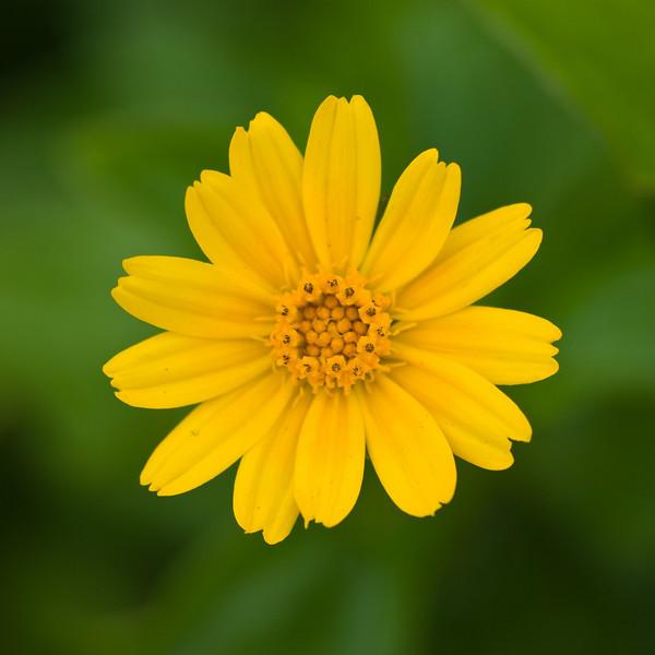 Small Yellow Daisy
