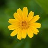Small Yellow Daisy