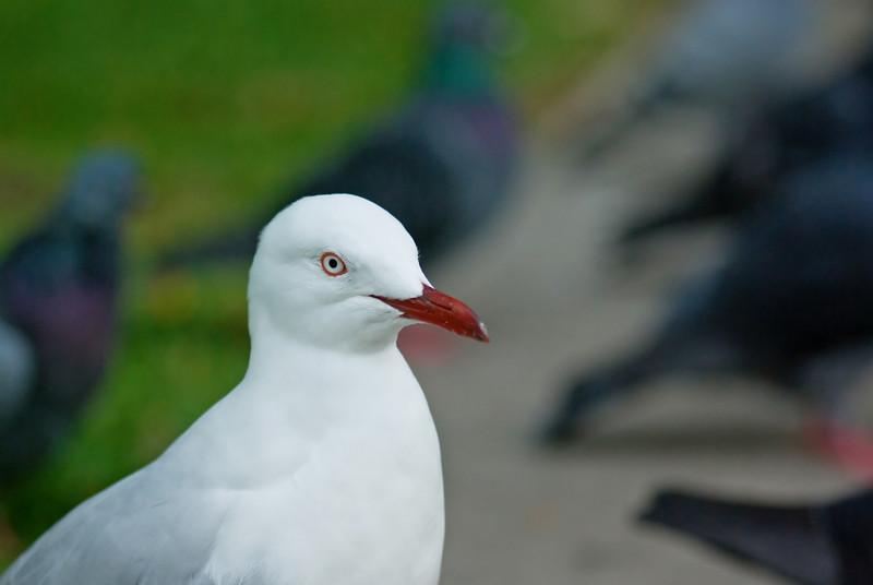 Gull Amongst the Pigeons