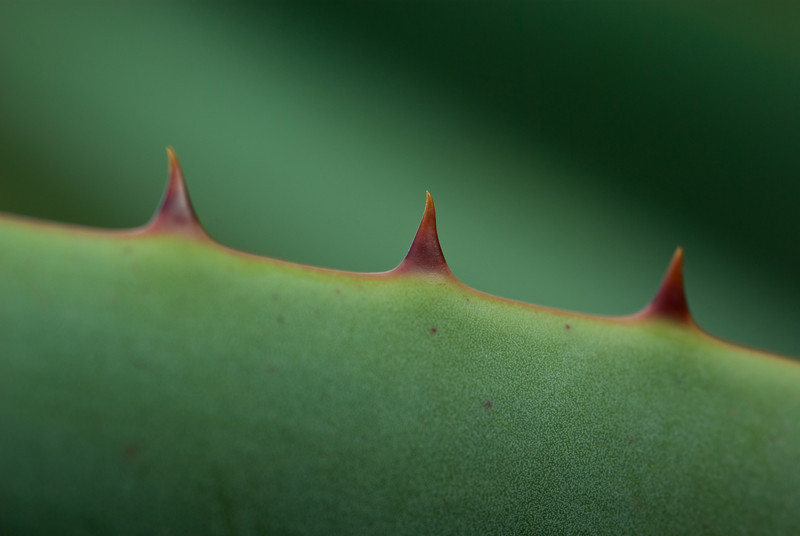 Macro shot of thorns on an Aloe leaf, with focus on the middle one