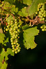 Vines in the Setting Sun (Blue Metal Vineyards)