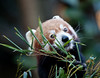 Red Panda (Ailurus fulgens) eating bamboo shoots.<br /> Taronga Zoo, Sydney