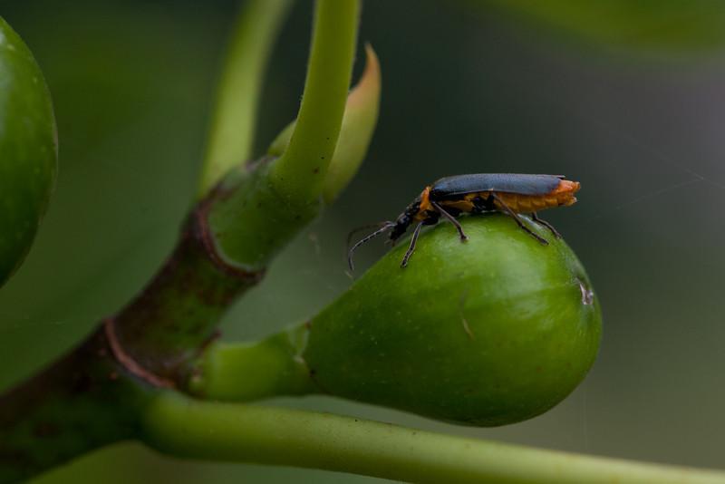 Longhorn Beetle  on a Fig