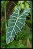 Alocasia sanderiana Leaf (Elephant Ear)