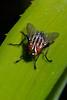 Fly on a Bromeliad Leaf