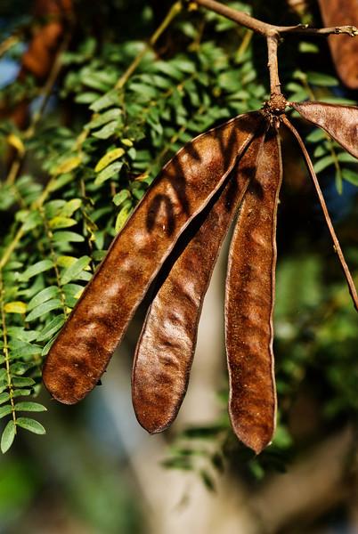 Dried Seedpods on a Tree