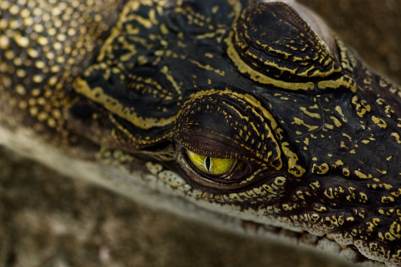 A baby crocodile (about 30 cm long) keeping a alert