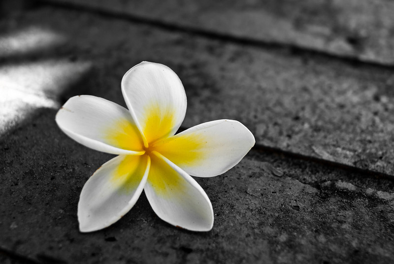 A single frangipani flower lying on top of a brick wall., with background desaturated
