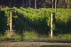 Blue Metal Vineyard