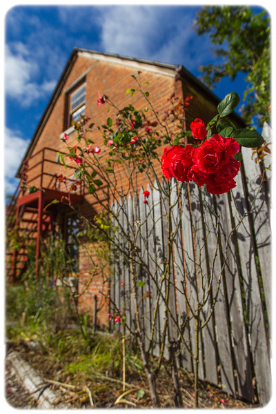 Red Roses of Uralla