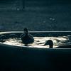 Ducks-3806