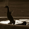 Ducks-3823