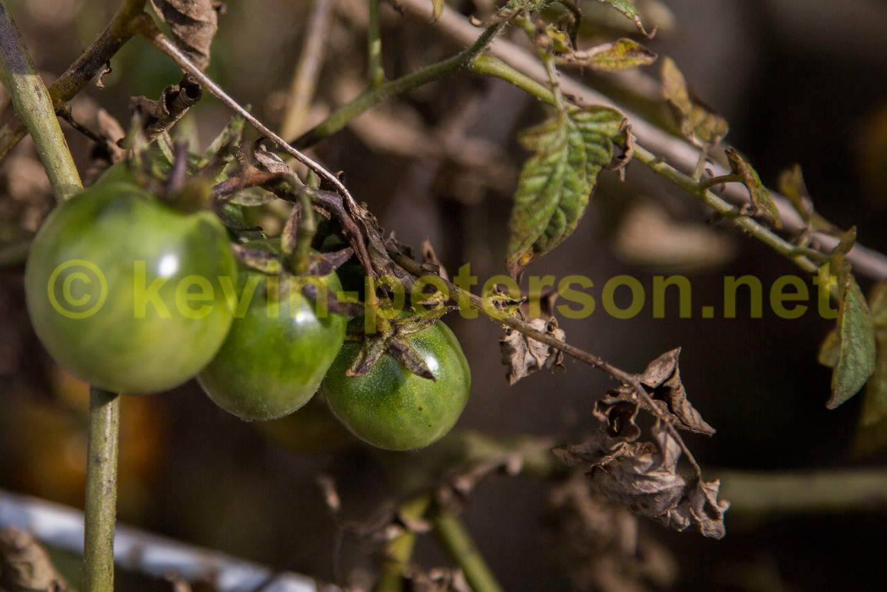 Cherry Tomatoes - Green