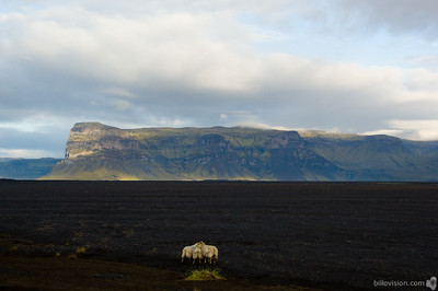 Sheep in Skeiðarársandur