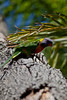 Rainbow Lorikeet in a Tree