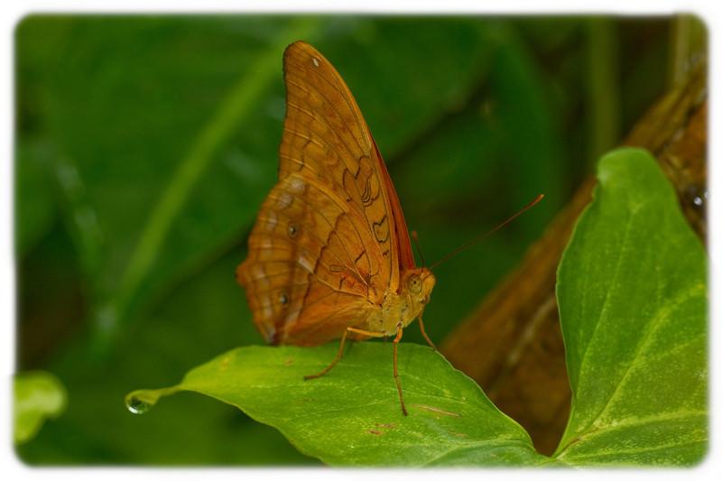Butterfly: Cedar Bush Brown (Mycalesis sinius)