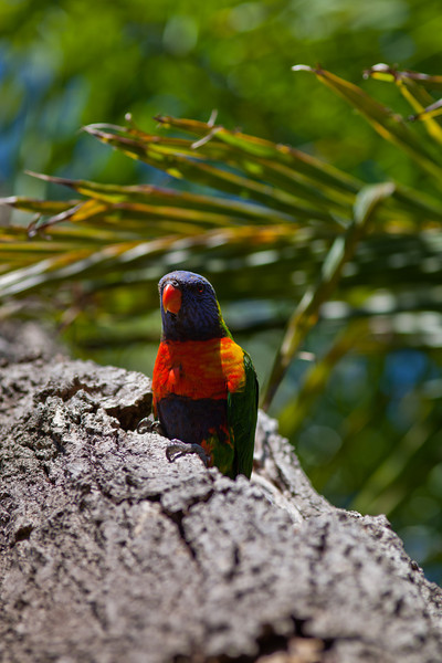 Rainbow Lorikeet in a Tree