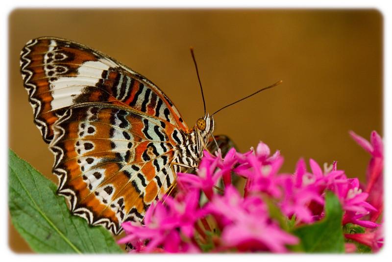 Buttefly: Orange Lacewing (Cethosia penthesilea)