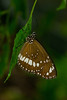 Butterfly: Common Crow (Euploea core)