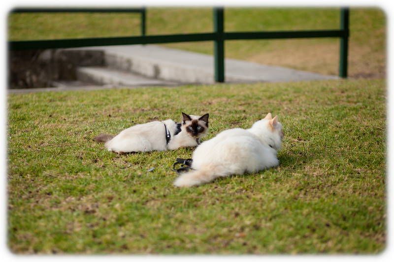 Milo and Diesel Doing what Cats Do Best at Kurraba Point Reserve