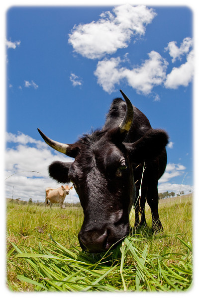 Cows Near Gloucester, NSW