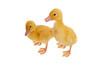 Pekin  Ducklings