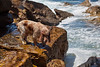 Iza's Dog Huey on the Rocks at Manly