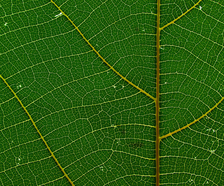 A Backlit leaf macro shot with showing clearly defined veins