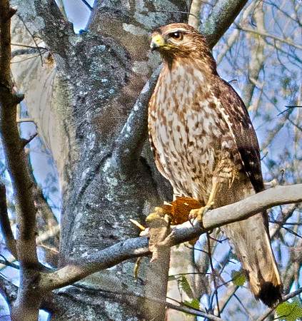 DSC_0049 002dbp Hawk at Mt Tabor Park