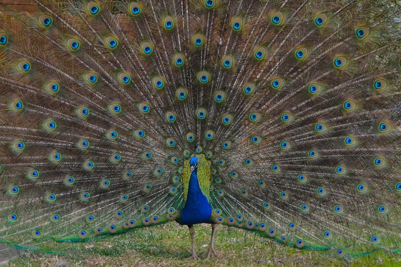 CSC_0241 001dbp Peacock